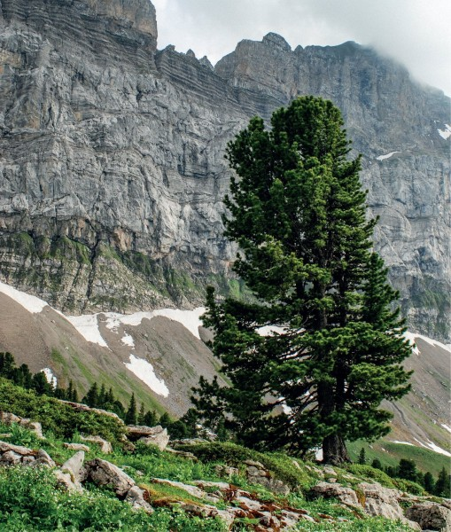 5-1_1-why-is-the-swiss-stone-pine-1280x0_q85